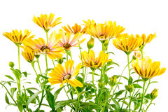 Isolated yellow Osteospermum flower blossoms Royalty Free Stock Photography