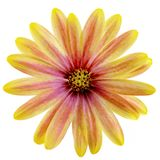 Isolated Yellow and Pink Daisy Stock Photos