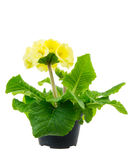 Isolated Yellow Primrose Flower Royalty Free Stock Photography