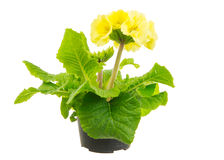 Isolated Yellow Primula Flower Stock Photos