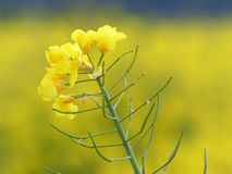 Isolated yellow rapeseed flower with field in background royalty free stock images