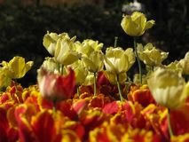 Isolated Yellow and Red and Yellow Tulips. 20130426. Yellow tulips growing above red and yellow tulips. Baltimore, MD, USA stock photos