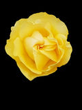 Isolated yellow rose Royalty Free Stock Images