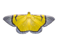 Isolated yellow signata moth Stock Photos