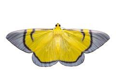 Isolated yellow signata moth Stock Photos