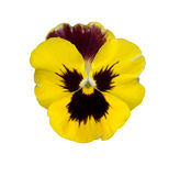 Isolated yellow spring pansy violet flower Royalty Free Stock Images