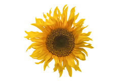 Isolated yellow sunflower blossom on white background Royalty Free Stock Photography