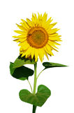 Isolated  yellow sunflower Royalty Free Stock Image