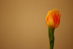 Isolated yellow tulip, Tulipa, Liliaceae, closeup view. Royalty Free Stock Photography