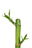 Isolated young bamboo Royalty Free Stock Photos