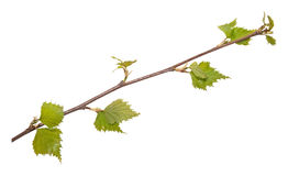 Isolated young branch Stock Image