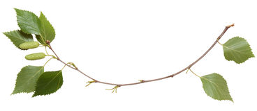 Isolated young branch Stock Images