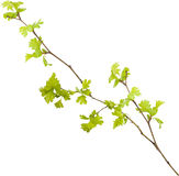 Isolated young branch Stock Photo