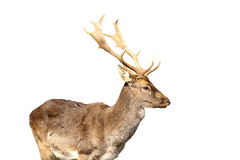 Isolated young fallow deer male royalty free stock photography
