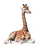Isolated young giraffe. In position seated Stock Photos