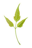 Isolated young green leaf of ash Stock Photo