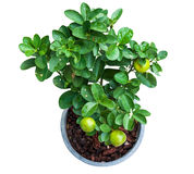 Isolated young lemon tree in pot Stock Photography