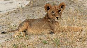 An isolated young lion cub Royalty Free Stock Photo