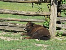 Isolated Young Male Yak Cow Calf Lying and Relaxing next to Wooden Fence Paling on Sunny Day royalty free stock images