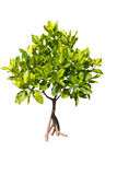 Isolated young mangrove tree Stock Photo