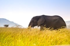 An isolated young musth elephant grazing in tall grass in a game reserve in Africa stock image