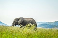 An isolated young musth elephant grazing in tall grass in a game reserve in Africa. An isolated young musth elephant grazing in tall grass in a nature reserve in royalty free stock photography