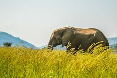 An isolated young musth elephant grazing in tall grass in a game reserve in Africa stock photos