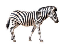 Isolated zebra Royalty Free Stock Image