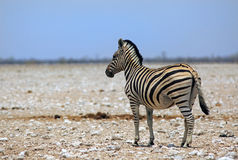 Isolated zebra on the etosha pan Royalty Free Stock Photography