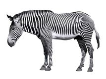 Isolated zebra of Grevy Royalty Free Stock Photography