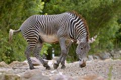 Isolated zebra of Grevy Stock Image