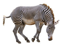 Isolated zebra of Grevy Royalty Free Stock Images