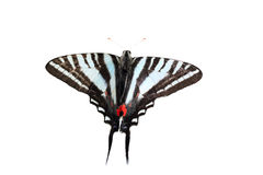Isolated Zebra Swallowtail Royalty Free Stock Image