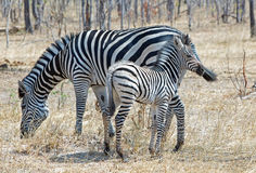 Isolated Zebras (Equus quagga)Mother & Foal in Hwange National Park Royalty Free Stock Photos
