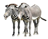 Isolated zebras of Grevy. Isolated of two zebras of Grevy standing Stock Photo