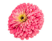 Isolated Zinnia Flower Stock Photos