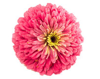 Isolated Zinnia Flower Royalty Free Stock Images