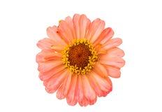 Isolated Zinnia Flower Royalty Free Stock Image