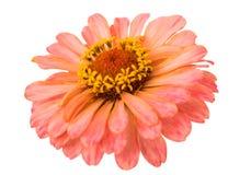 Isolated Zinnia Flower Stock Photo