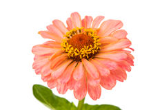 Isolated Zinnia Flower Royalty Free Stock Photography