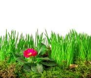 Isolatedon för grönt gräs och primulaen vit bakgrund Royaltyfri Bild