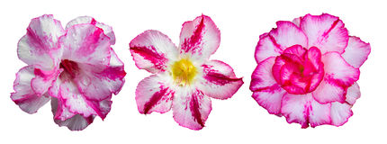 Isolates azalea pink. And white, the three lines are different strains royalty free stock photos