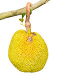 Isolates of Jack fruit. The yellow and ripe and rotting on the branches of a tree Stock Images