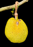 Isolates of Jack fruit. The yellow and ripe and rotting on the branches of a tree Royalty Free Stock Photos