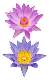 Isolates purple and pink. Two isolates purple and pink lotus close together beautifully stock images