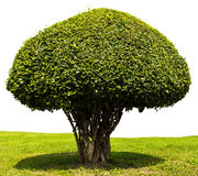 Isolates shrub trimming. Leaf density, which is a sphere royalty free stock image