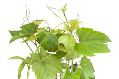 Isolates spring grapes Royalty Free Stock Photography