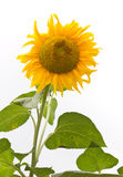 Isolates of the sunflower Royalty Free Stock Images