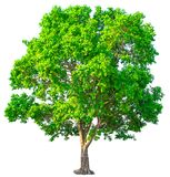 Isolatgrün-Baumbeschneidungspfad auf weißem Hintergrund stockfotografie