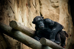 Isolation. Isolated black monkey with a sad expression on his face Stock Photography